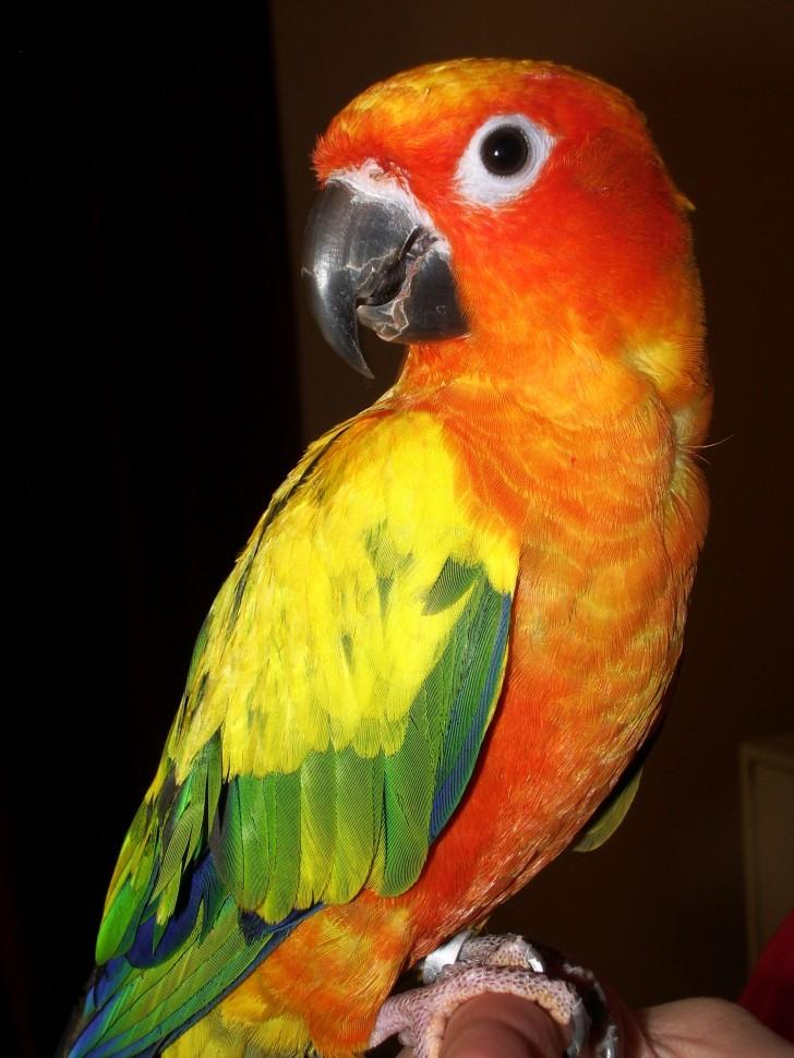 Birds , 7 Beautiful Sun Conure Parrot : Aratinga Solstitialis