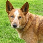 Australian Cattle , 6 Cool Australian Cattle Dog Pictures In Dog Category