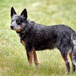 Australian Cattle Dog , 6 Cool Australian Cattle Dog Pictures In Dog Category