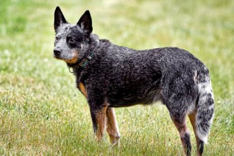 Australian Cattle Dog in Plants