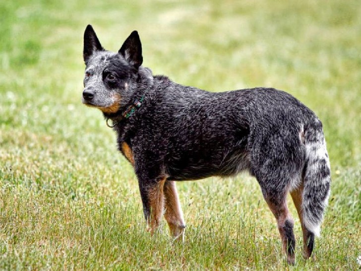 Dog , 6 Cool Australian Cattle Dog Pictures : Australian Cattle Dog