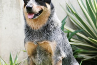 Australian Cattle Dog Breed , 6 Cool Australian Cattle Dog Pictures In Dog Category