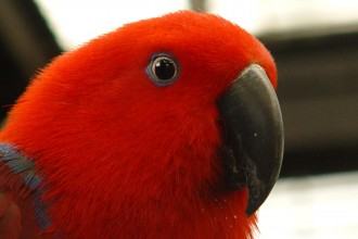 Australian Eclectus Parrot , 8 Nice Eclectus Parrot In Birds Category