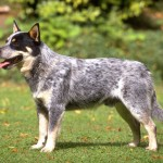 Cães & Cães: Australian Cattle Dog - 02 , 6 Cool Australian Cattle Dog Pictures In Dog Category