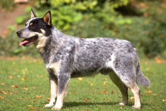 Cães & Cães: Australian Cattle Dog - 02 in Plants