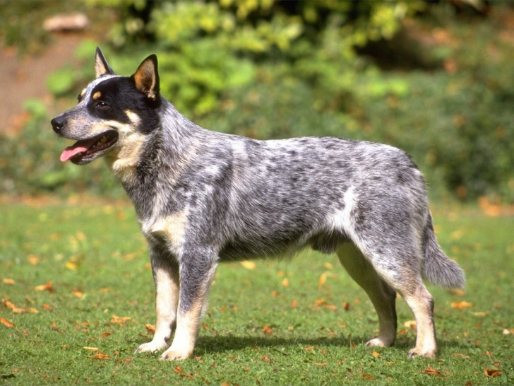 Dog , 6 Cool Australian Cattle Dog Pictures : Cães & Cães: Australian Cattle Dog   02
