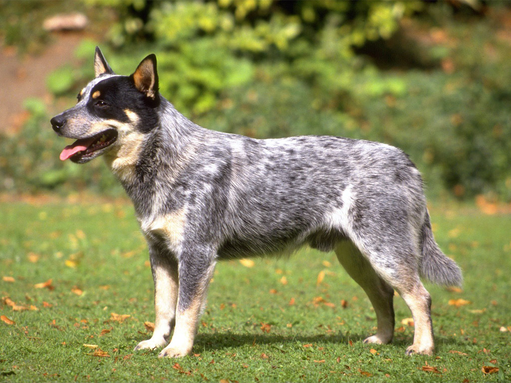 Cães & Cães: Australian Cattle Dog - 02