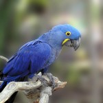 Baby Blue Macaw , 6 Cute Baby Macaws In Birds Category