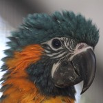 Baby Blue throated Macaw , 7 Awesome Blue Throated Macaw In Birds Category