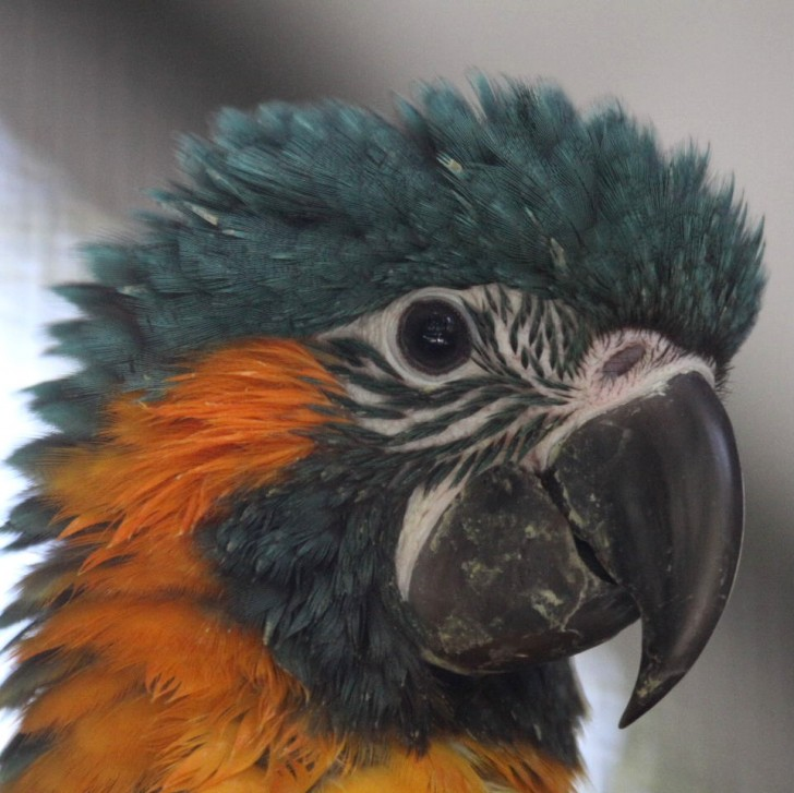 Birds , 7 Awesome Blue Throated Macaw : Baby Blue Throated Macaw
