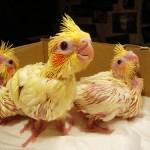 Baby Cockatiel in a box , 7 Cute Baby Cockatiels In Birds Category
