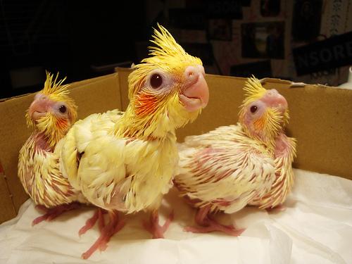 Birds , 7 Cute Baby Cockatiels : Baby Cockatiel In A Box