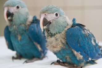 Baby Glaucous Macaw in Cell