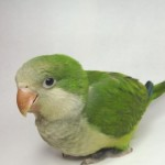 Baby Monk Parakeet , 7 Unique Quaker Parrot Talking In Birds Category