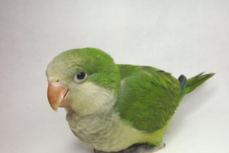 Baby Monk Parakeet in Birds