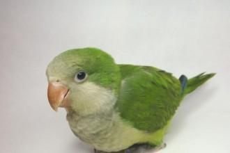 Baby Monk Parakeet in Environment