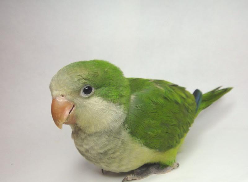 Baby Monk Parakeet