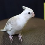 Baby Whiteface Cockatiels , 7 Nice Cockatiel Prices In Birds Category