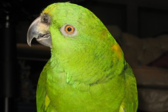 Baby Yellow Naped Amazon Parrot in Dog