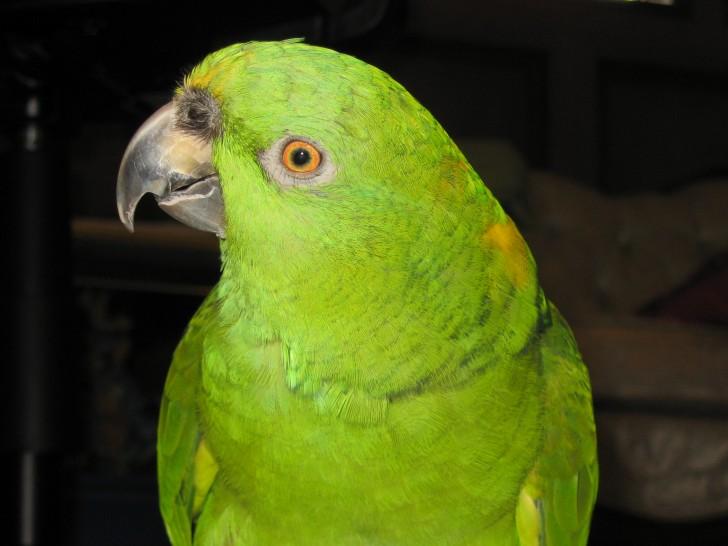 Birds , 6 Wonderful Yellow Naped Amazon Parrot : Baby Yellow Naped Amazon Parrot