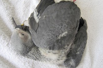 Baby african grey parrot in Cat