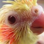 Baby cockatiel , 7 Cute Baby Cockatiels In Birds Category