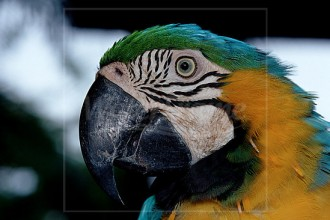 Beautiful Blue And Gold Macaw , 8 Beautiful Blue And Gold Macaw Facts In Birds Category