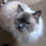 Beautiful Cat Breeds , 7 Beautiful Cat Breeds With Pictures In Cat Category