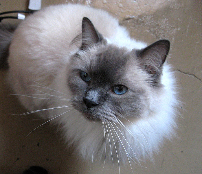 Cat , 7 Beautiful Cat Breeds With Pictures : Beautiful Cat Breeds