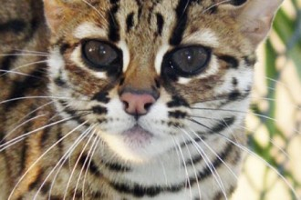 Bengal Cat Breed , 6 Fabulous Pictures Of Cat Breeds In Cat Category