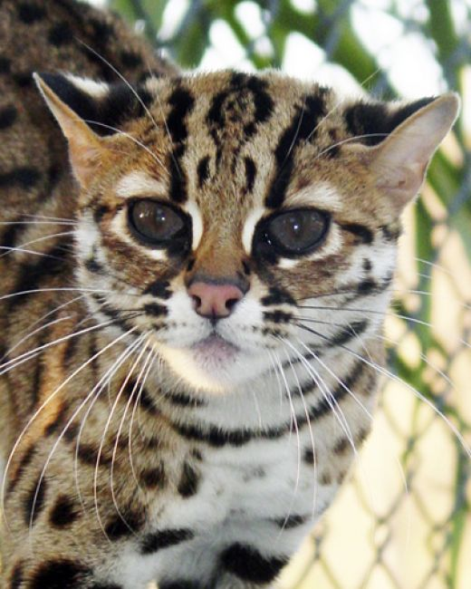 Cat , 6 Fabulous Pictures Of Cat Breeds : Bengal Cat Breed