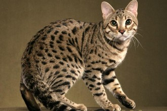 Bengal Cat RAVI , 7 Charming Pictures Of Bengal Cats In Cat Category