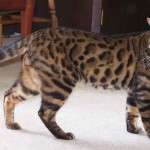 Bengal cat , 7 Nice Bengal Cats Pictures In Cat Category