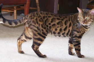 Bengal cat in Genetics