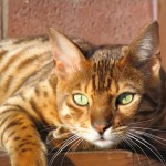 Bengal cat relaxing , 7 Charming Pictures Of Bengal Cats In Cat Category