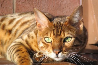 Bengal cat relaxing in Cell