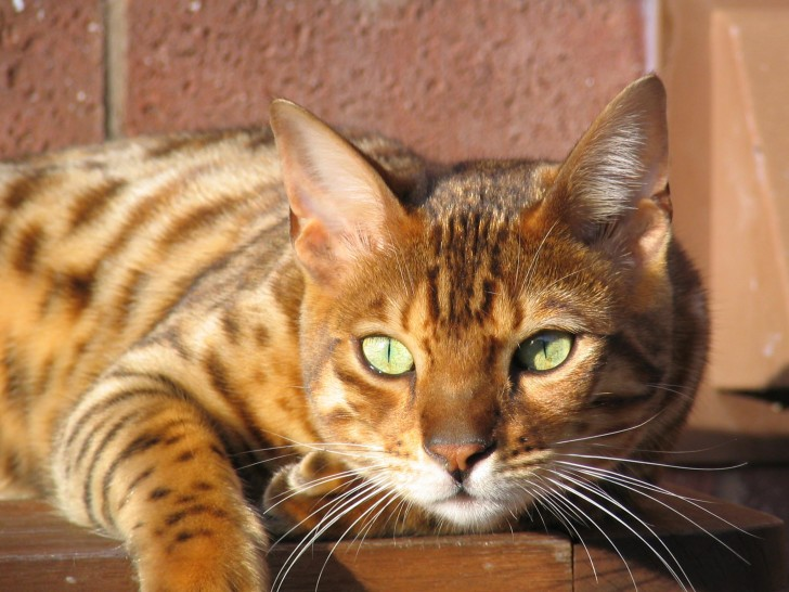 Cat , 7 Charming Pictures Of Bengal Cats : Bengal Cat Relaxing