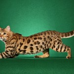 Bengal cat , 7 Charming Pictures Of Bengal Cats In Cat Category