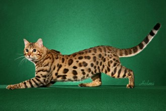 Bengal cat in Reptiles