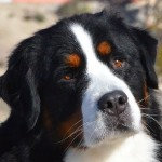 Bernese Mountain , 7 Charming Bernese Mountain Dog Pictures In Dog Category