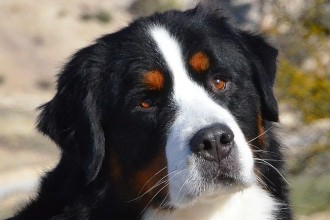 Bernese Mountain in Dog