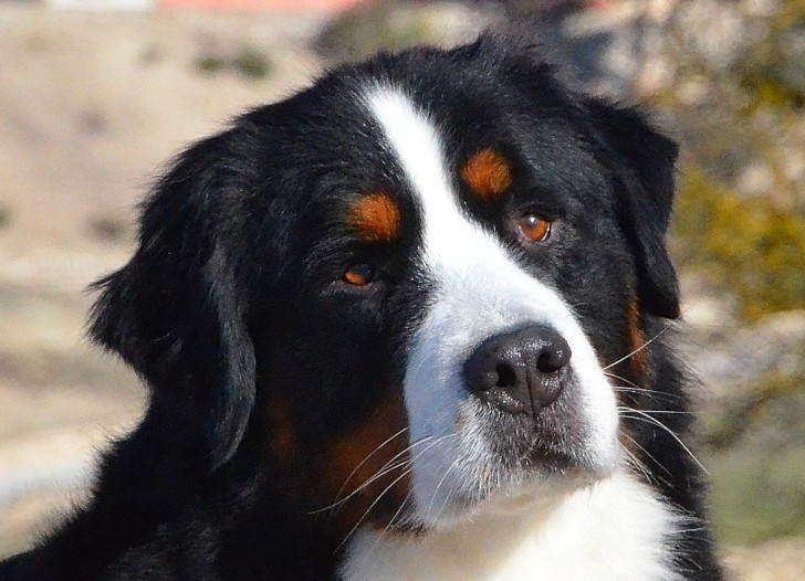 Dog , 7 Charming Bernese Mountain Dog Pictures : Bernese Mountain