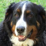 Bernese Mountain Dog Female , 7 Charming Bernese Mountain Dog Pictures In Dog Category