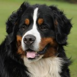 Bernese Mountain Dogs , 7 Charming Bernese Mountain Dog Pictures In Dog Category