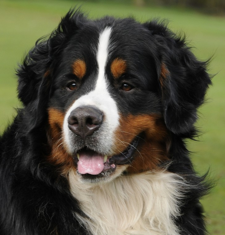 Dog , 7 Charming Bernese Mountain Dog Pictures : Bernese Mountain Dogs