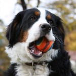 Bernese dog , 7 Charming Bernese Mountain Dog Pictures In Dog Category