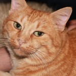 Big Tabby Cat , 7 Awesome Pictures Of Orange Tabby Cats In Cat Category