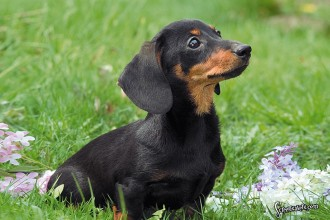 Black Dachshund in Dog
