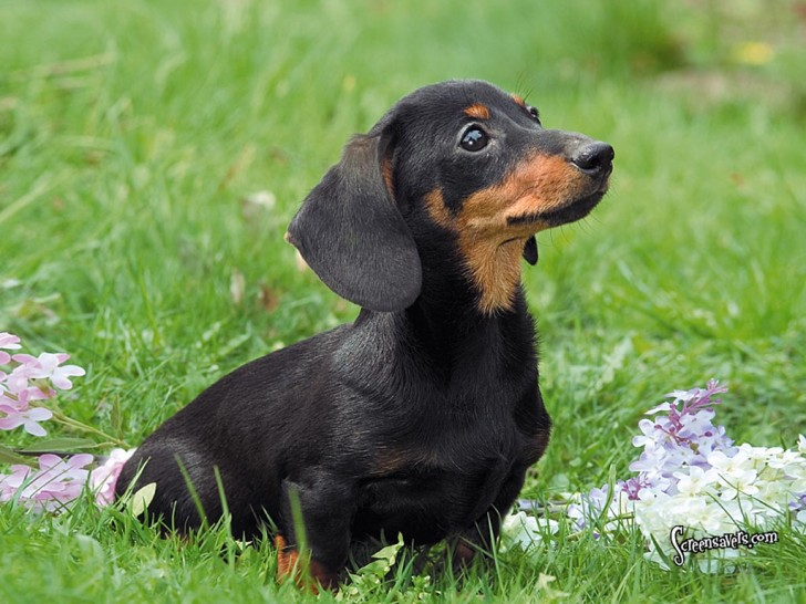 Dog , 8 Fabulous Funny Weiner Dog Pictures : Black Dachshund