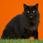 Black Norwegian Forest Cat , 7 Stunning Norwegian Forest Cat Pictures In Cat Category
